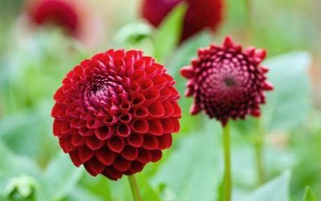 Dahlia Flower Dyeing