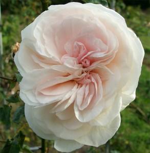 late flowering roses