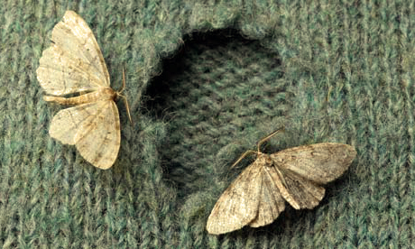 Moths on Wool