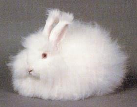 rabbit_angora