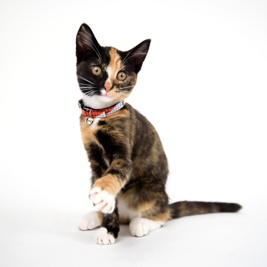 h+w-kitten-collar-063