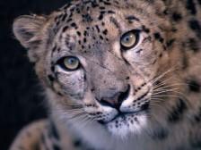 snow_leopard-70-224